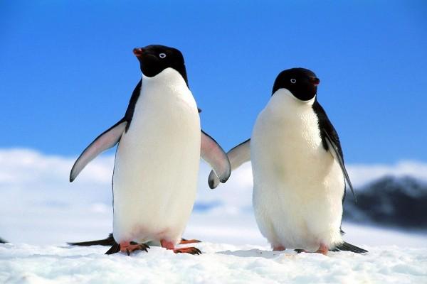 Dos pingüinos de la mano