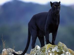 Pantera negra vigilando