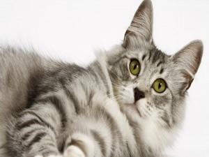 Atento gato gris