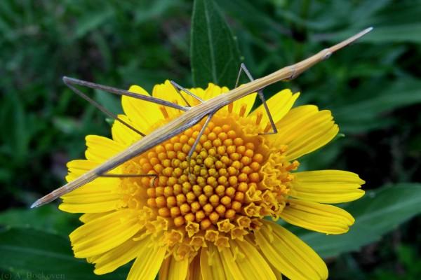 Bicho palo en una flor amarilla