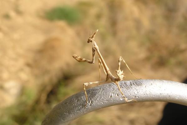 Insecto palo erguido