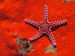 Postal: Estrella de mar roja