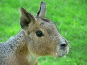 Postal: Cabeza de una liebre patagónica