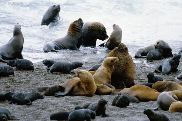 Lobos marinos (Península Valdés, Patagonia, Argentina)