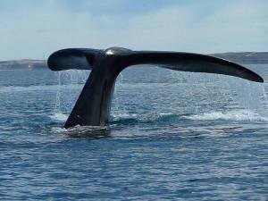 Cola de una ballena cerca de Península Valdés (Argentina)
