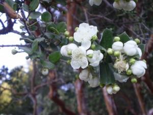 Postal: Flor del arrayán