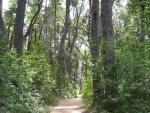 El bosque de coihues en la Península de Quetrihué (Neuquén, Argentina)