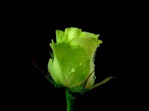 Postal: Rosa verde