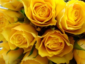 Postal: Rosas amarillas
