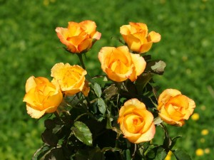 Postal: Rosal de rosas amarillas