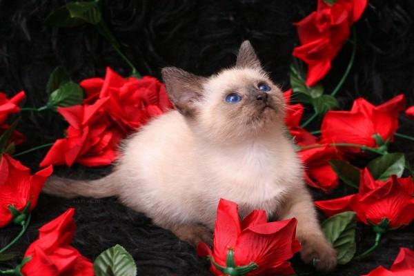 Gato siamés entre rosas rojas