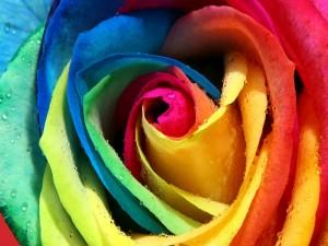 Postal: Rosa arco iris