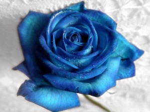Postal: Rosa azul