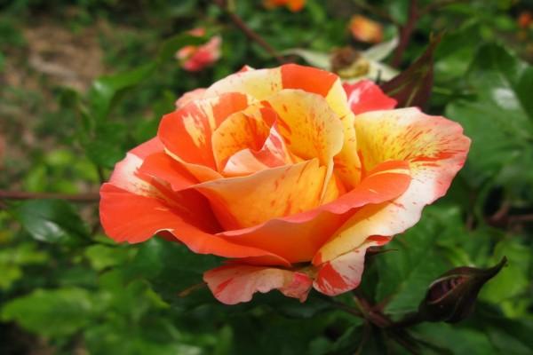 Rosa jaspeada en tonos naranjas