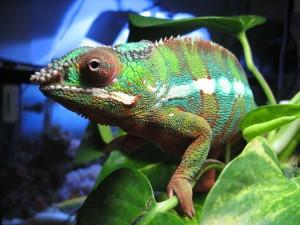 Camaleón de tonos verdosos