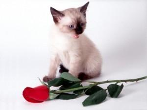 Postal: Gatito siamés con una rosa