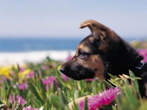 Postal: Cachorro de pastor alemán
