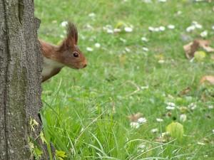 Postal: Ardilla escondida tras el tronco de un árbol