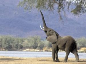 Elefante con la trompa en alto