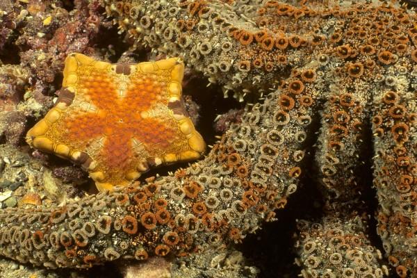 Estrellas de mar de colores dorados