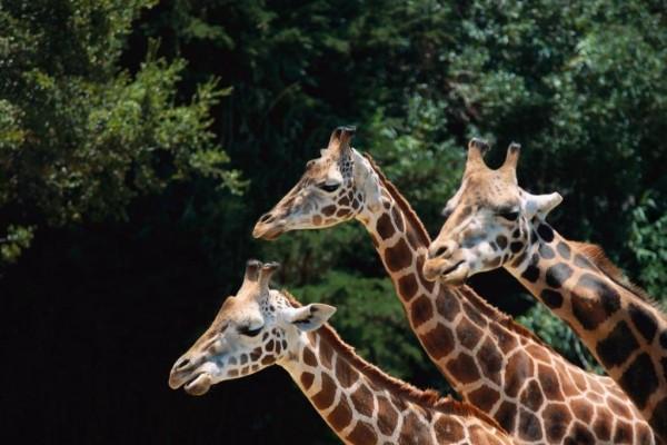 Trío de jirafas