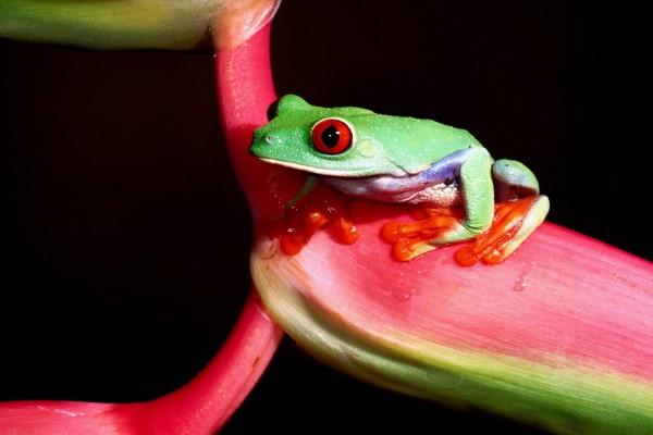 Rana verde de ojos rojos (Agalychnis callidryas)