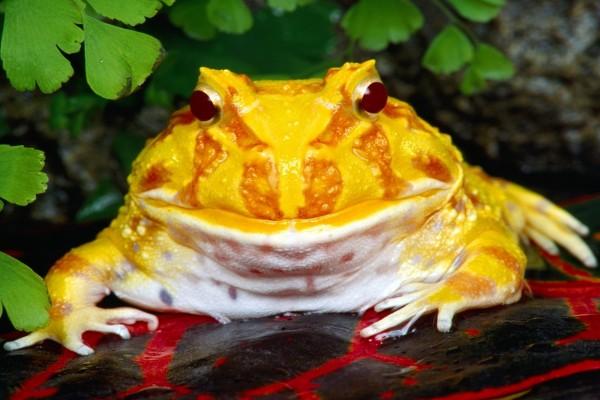 """Escuerzo de Cranwell (Ceratophrys cranwelli) o """"rana de Pacman"""""""
