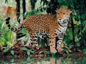 Postal: Jaguar (Panthera onca)