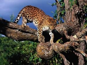 Postal: Leopardo en la rama de un árbol