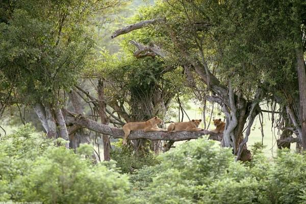 Leonas subidas a un árbol