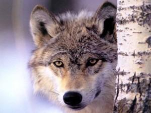 Postal: Un lobo mirándote