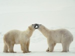 Osos polares juntando las bocas