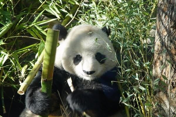 Oso Panda Comiendo Bambú (9627
