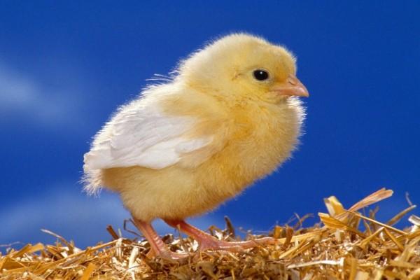 Pollito sobre fondo azul