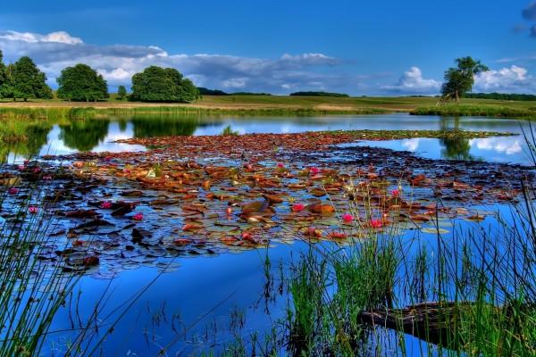 Un lago cubierto de nenúfares