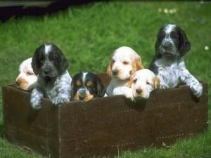 Postal: Cachorritos en un cajón de madera