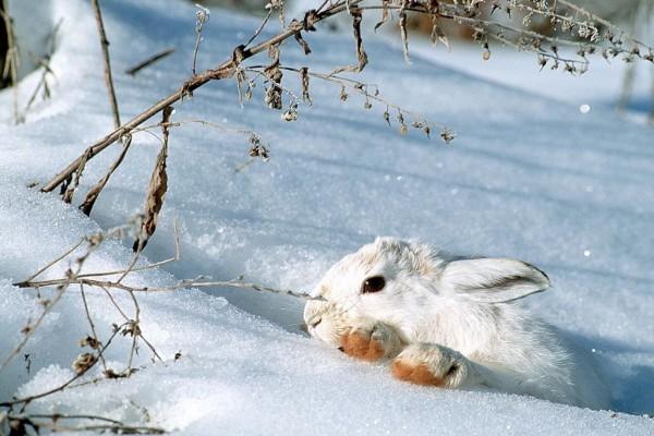Conejo blanco en la nieve