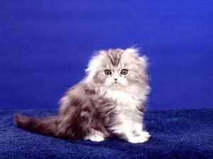 Postal: Gatito sobre fondo azul