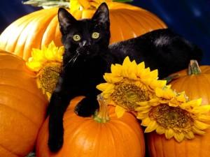 Gato negro sobre calabazas y girasoles
