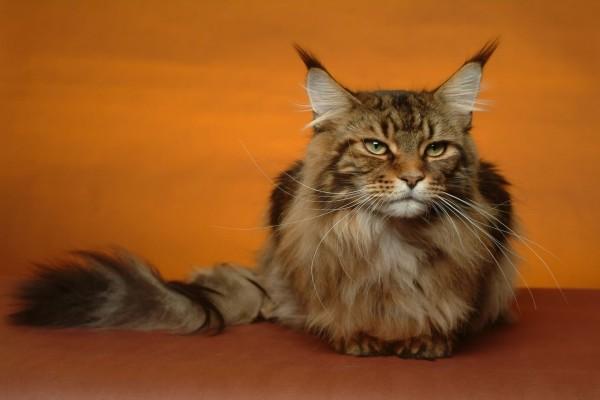 """Gato de raza """"Maine Coon"""" (o Mancoon)"""