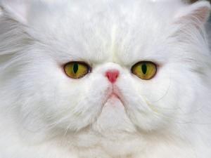 Postal: Gato de raza persa