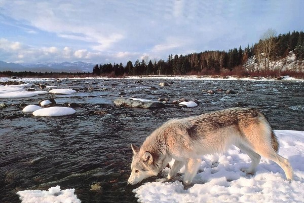 Lobo bebiendo agua