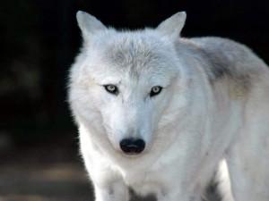 Postal: Lobo blanco