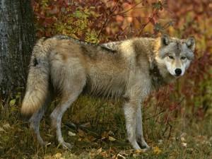 Postal: Lobo ibérico (Canis lupus signatus)