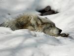 Lobo tumbado en la nieve