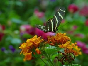 Mariposa de rayas blancas