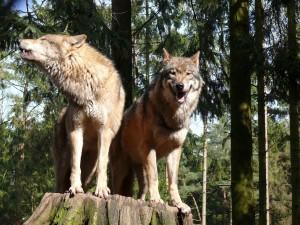 Postal: Pareja de lobos