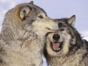 Amor entre lobos