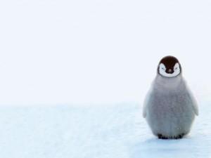 Postal: Pequeño pingüino solitario