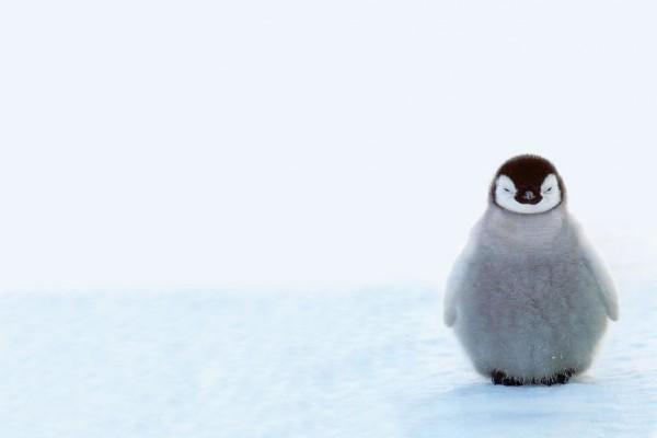 Pequeño pingüino solitario